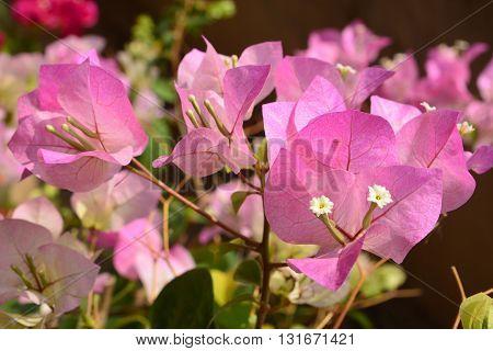 Pink Bougaville flowers, Bougainvillea is a genus of thorny ornamental vines