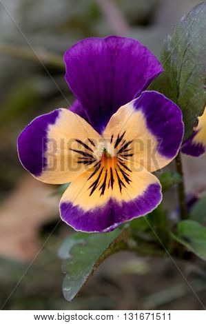 Purple & orange flower I've been known to call a Johnny Jump Up