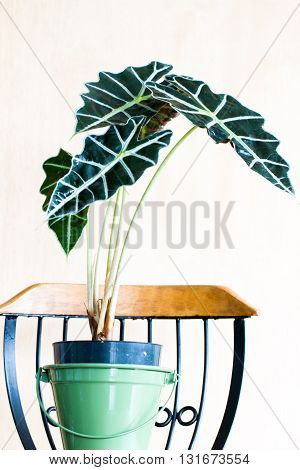 Close-up of alocasia amazonica elephant ear Tropical plant in a pot