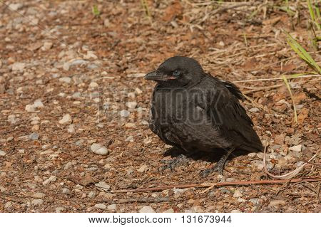 Close-up of a black crow fledgling on the forest floor.