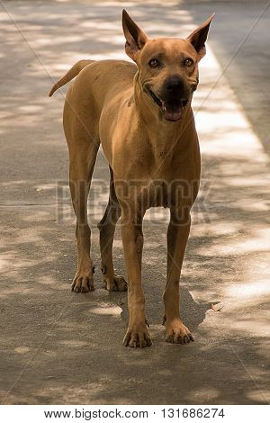 A brown stray dog standing on the road. Homeless stray dog.