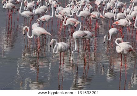 flock of flamingo in Ras Al Khor wildlife sanctuary