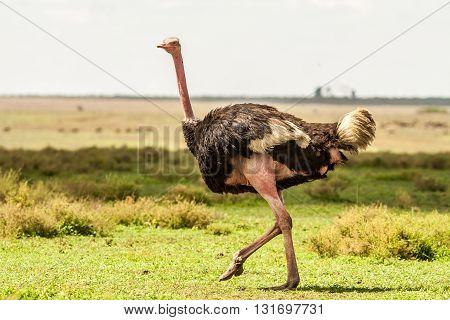 Wild African Ostrich in the Serengeti national park
