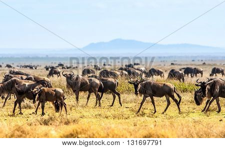 Herd of wild African wildebeest in the serengeti