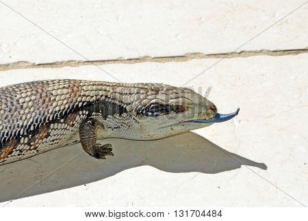 Australian Blue Tongue Lizard poking its tongue out