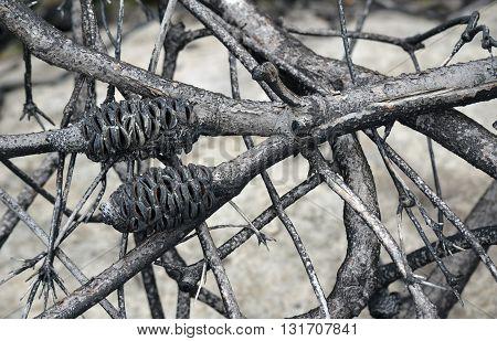 Burnt Australian Banksia tree branches after a bushfire