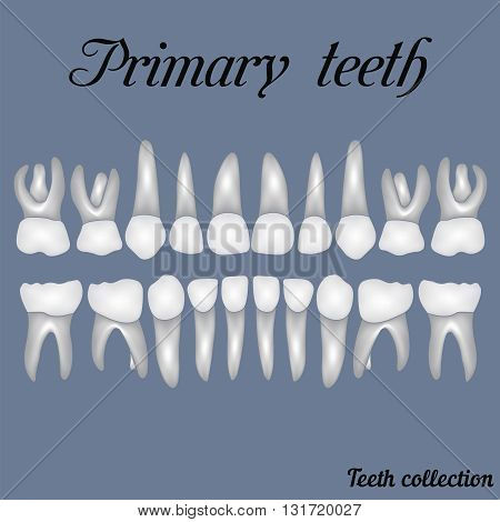 Primary teeth - crown and root the number of teeth upper and lower jaw done in vector are easy to edit for print or design