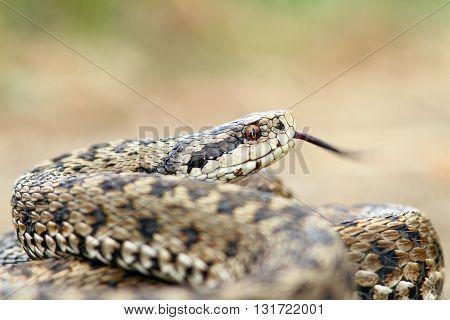 Vipera ursinii rakosiensis - meadow viper female-IUCN-endangered poster