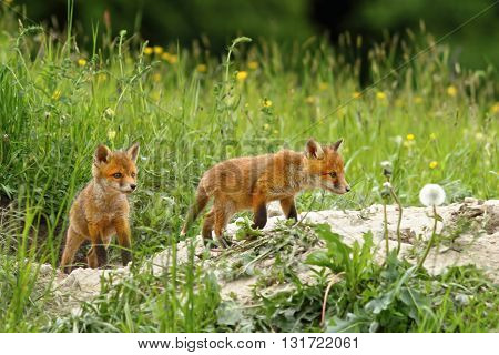 fox cubs near the burrow ( Vulpes vulpes ); they like to play around when mother in hunting in the woods