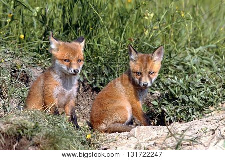 red fox cubs resting near the burrow ( Vulpes vulpes )
