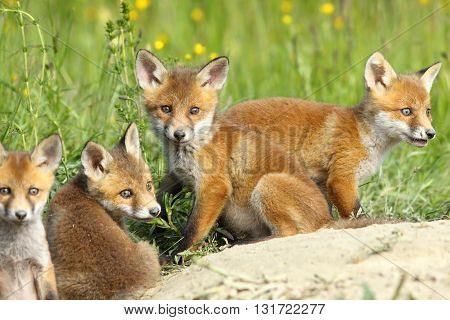 red fox family four cute cubs resting near the burrow looking at the camera ( Vulpes vulpes )