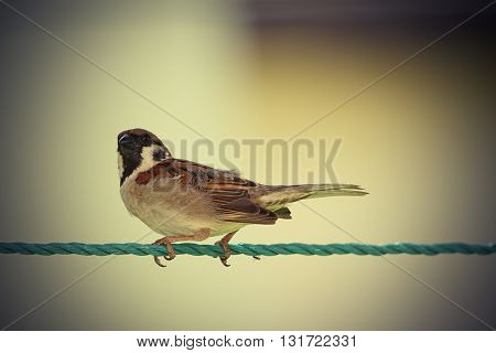 vintage image of house sparrow ( Passer domesticus )