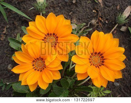 Three orange with brown stripes gazania flowers