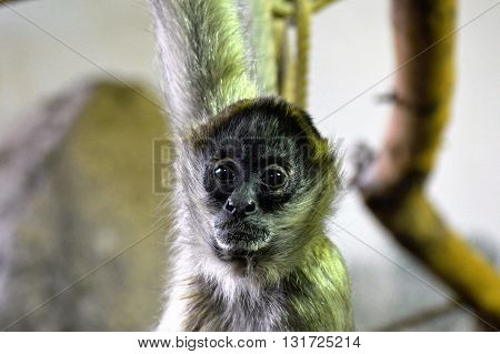 A Spider monkey hanging from a branch