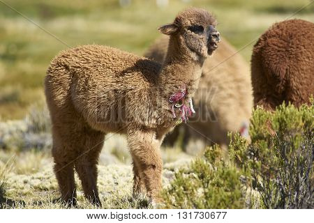 Baby Alpaca (Lama pacos) on a wetland in Lauca National Park, northern Chile.