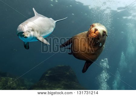 Dolphin And Sea Lion Underwater Close Up