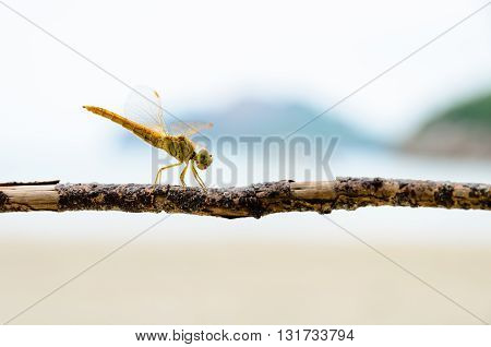 Pantala Flavescens Globe Skimmer or Wandering Glider Yellow dragonfly perched on a branch at the beach