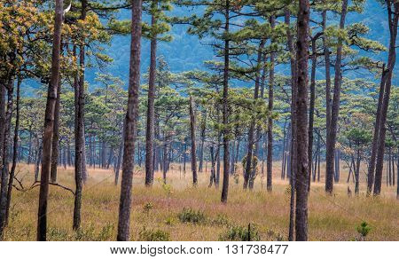 The beautiful uppermost yong green pine trees on Phu Soi Daow national park Thailand.