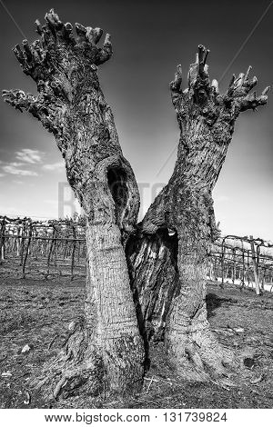 Old gnarled and twisted mulberry tree after pruning.