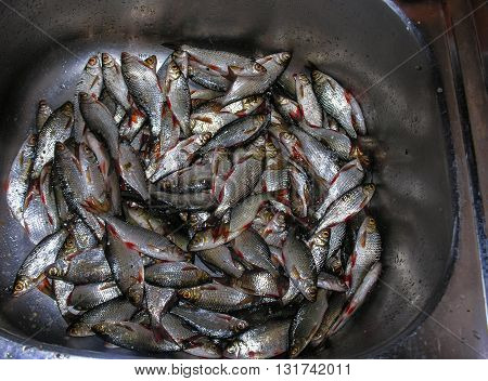 After fishing - a large number of rudd