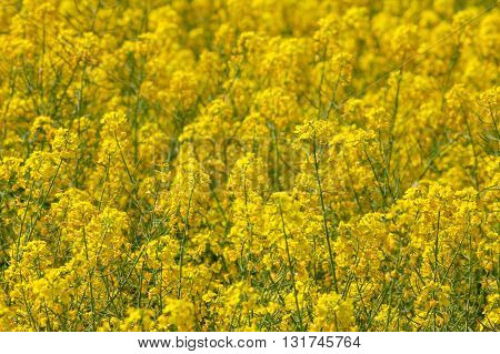 Flowering oilseed rapeseed as background, yellow field