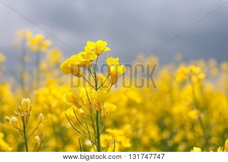 Blooming canola in the field close-up horizontal