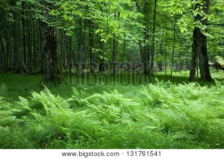 Shady deciduous stand of Bialowieza Forest in springtime with fresh green grassy bottom and ferns, Bialowieza Forest, Poland, Europe