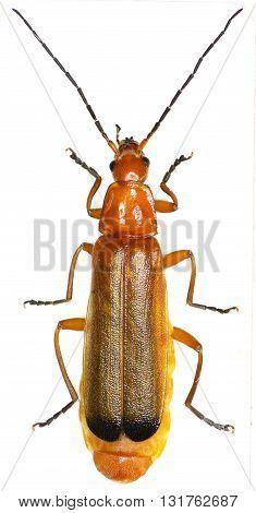 Red Soldier Beetle on white Background  -  Rhagonycha fulva (Scopoli, 1763)