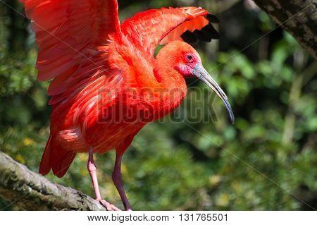 Scarlet Ibis (eudocimus Ruber)