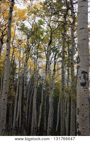 Aspen grove in Fall along Colorado's Moody Hill Trail in the backcountry.