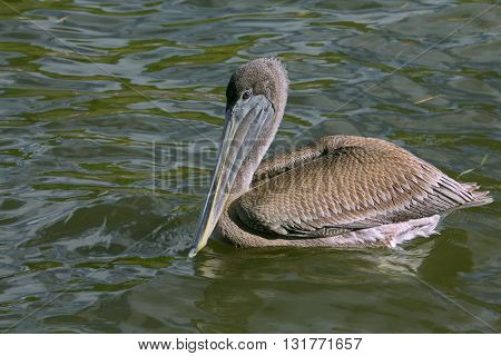 Portrait of a Large Brown Pelican bird