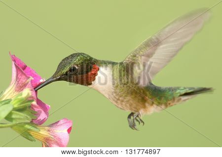Male Ruby-throated Hummingbird (archilochus colubris) in flight at a flower with a green background