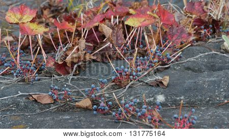 berries con plantas in autumn on a stone