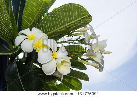 White Frangipani flowers with sunlight , nature