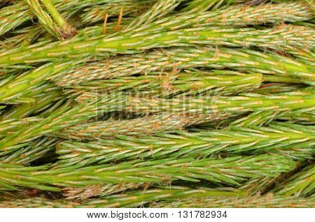 Green sprout of fir tree as background
