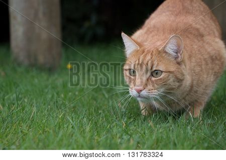 Ginger cat on a lawn about to pounce
