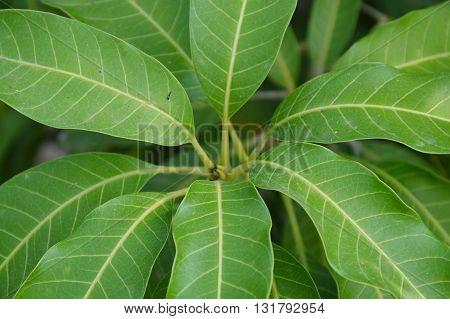 mango leaf texture on branch in the garden