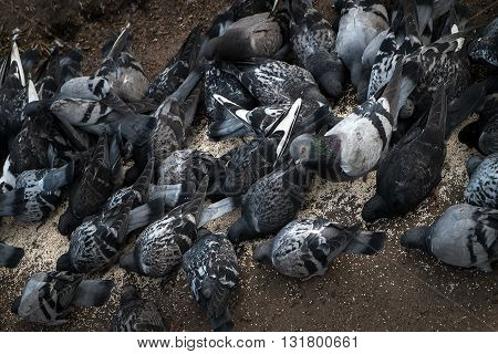 the pack of pigeons pecks millet grain