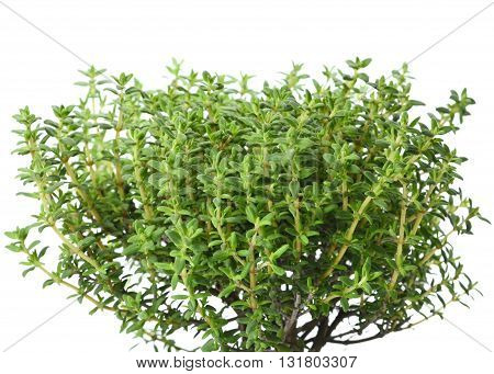 Fresh thyme, isolated on white background. Clos-up of thyme branches, cooking ingredient.