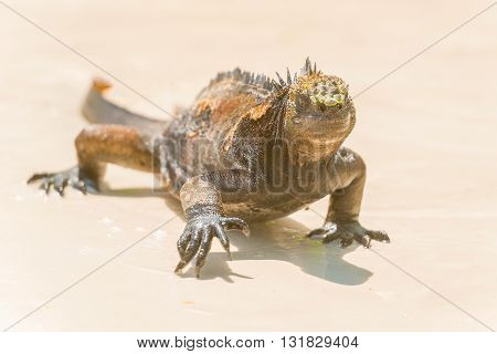 Marine Iguana On Galapagos Islands