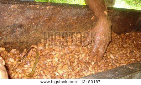 Preparing Cacao Beans