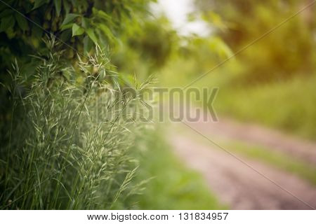 Close up of fresh cereals thick grass on green background.