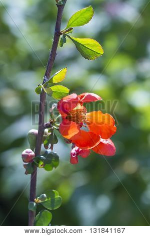 Japanese Quince or Chaenomeles (Latin name Chaenomeles). Red flower on branch