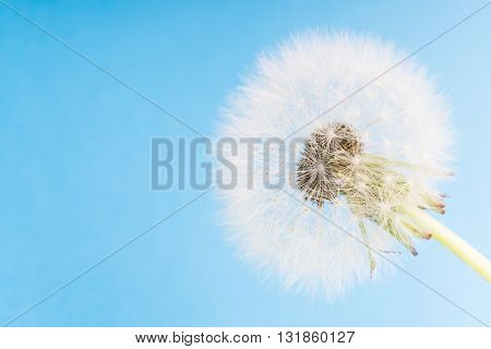Dandelion abstract blue background. White blowball over blue sky and copy space. Shallow depth of field.
