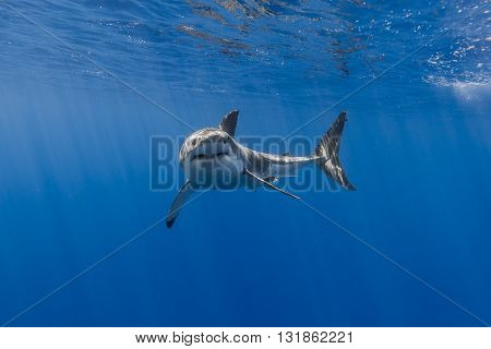 A casual shark swimming in the deep ocean