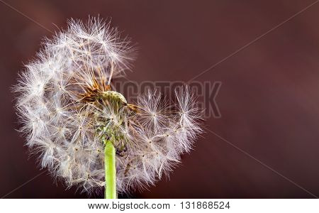 White dandelion on a red-brown background. The dandelion has partially flown a close up selective focus copyspace on the right