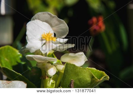 a Flower white violets on the background colors. Macro shooting