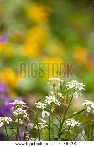 Close up of nice white flowers in the countryside