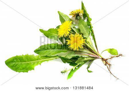Medicinal plant dandelion (Taraxacum officinale) on a white background. Dandelion - edible plant and nectariferous