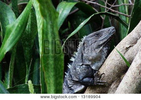 Iguana in the Rainforest